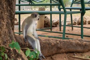 Верветка, или Карликовая зелёная мартышка Vervet monkey (Chlorocebus pygerythrus), Тарангире