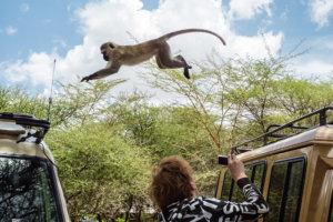 Верветка или Карликовая зелёная мартышка Vervet monkey (Chlorocebus pygerythrus), Тарангире