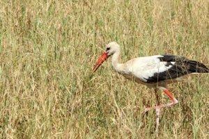 Белый аист White Stork (Ciconia ciconia), Тарангире