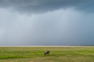 Голубой, или полосатый гну Blue wildebeest (Connochaetes taurinus), Нгоронгоро