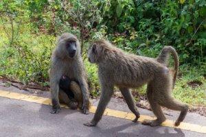 Бабуин, или жёлтый павиан Yellow baboon (Papio cynocephalus), Нгоронгоро