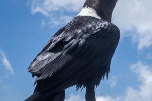 Белощёкий ворон White-necked Raven (Corvus albicollis), Килиманжаро