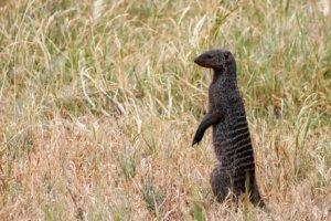 Карликовый мангуст Common Dwarf Mongoose (Helogale parvula), Тарангире