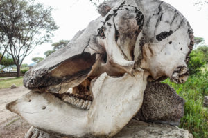 Череп саванного слона, Тарангире