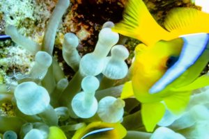 Anemonfish, Anemone shrimp and Bubble Anemon, Red Sea