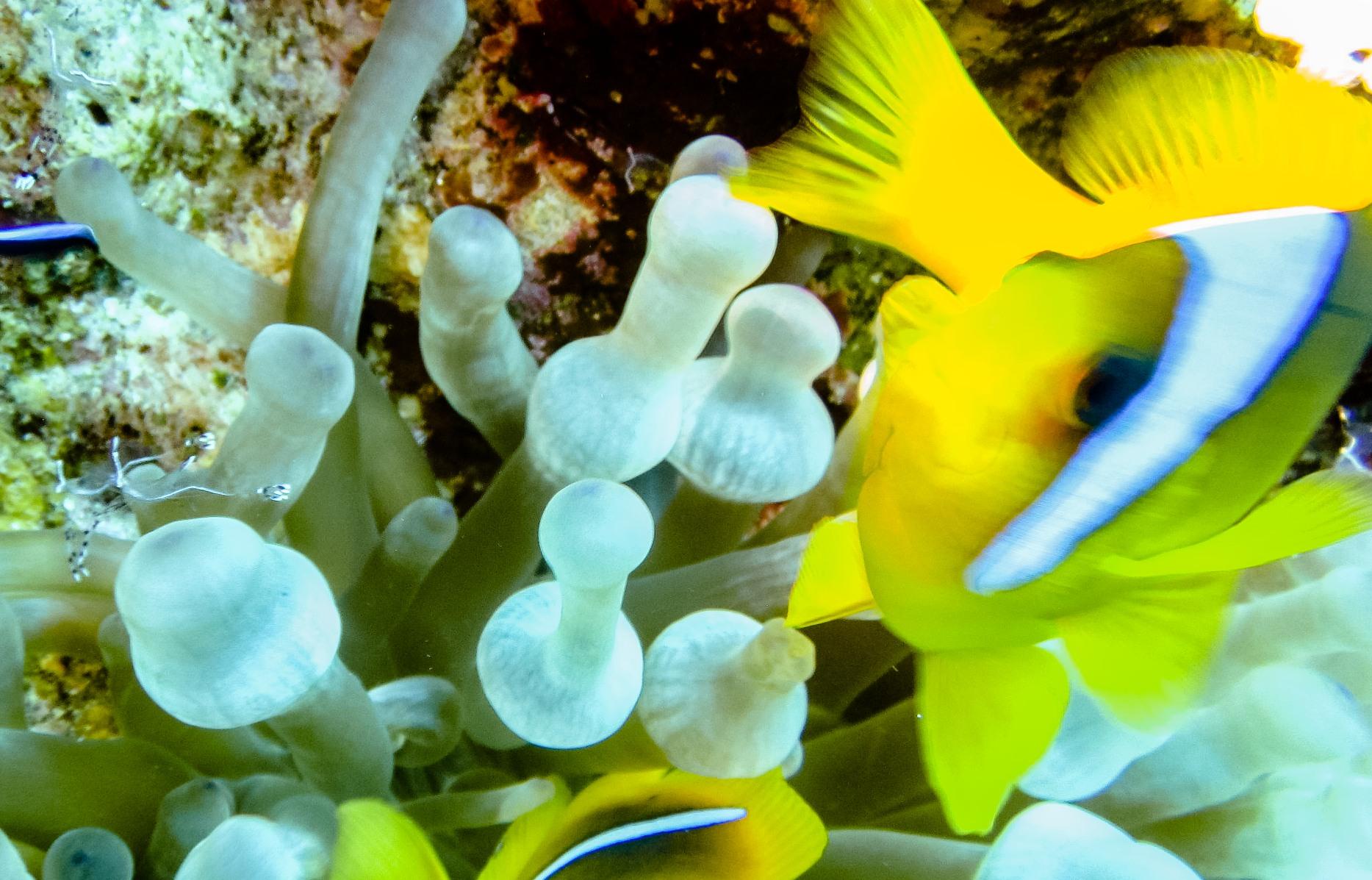 Красноморский амфиприон (Amphiprion bicinctus), Анемоновая креветка (Ancylomenes longicarpus), Актиния пузырчатая (Bubble Anemonquadricolor)