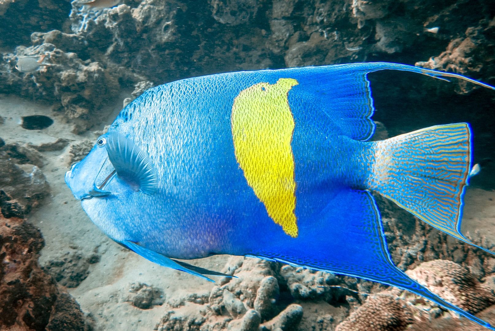 Аравийская рыба-ангел Arabian Angelfish (Pomacanthus Maculosis), Красное море