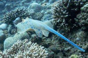 Синеточечный хвостокол Bluespotted Stingray (Taeniura Lumma), Красное море