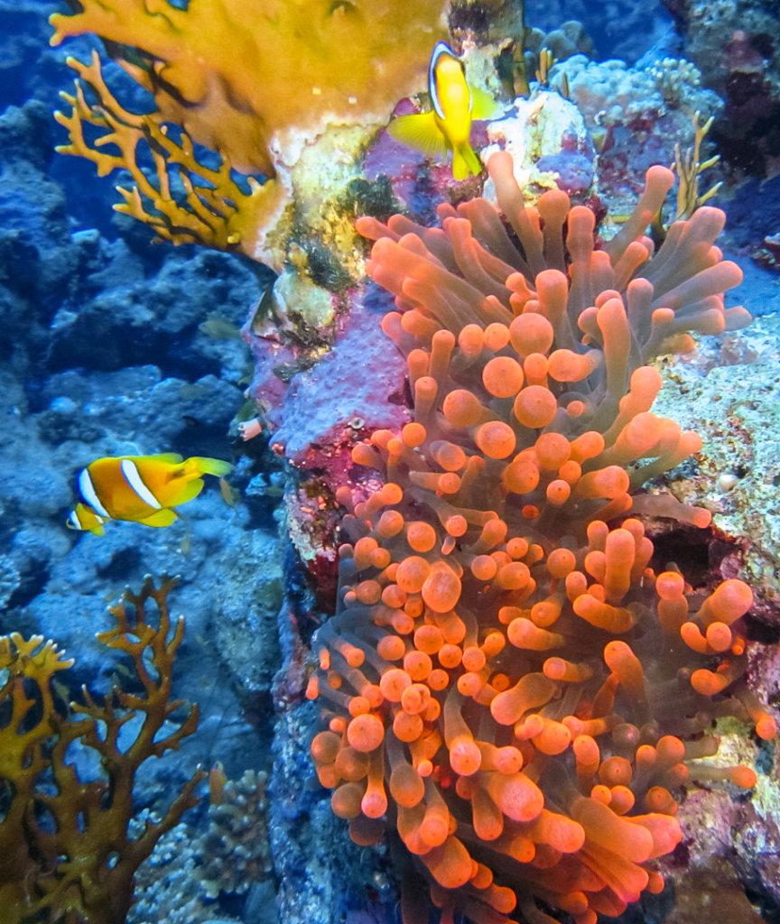 Актиния пузырчатая Bubble Anemon (Entacmaea Quadricolor), Красное море