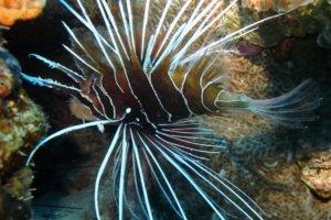 Радиальная крылатка Clearfin lionfish (Pterois radiata), Красное море