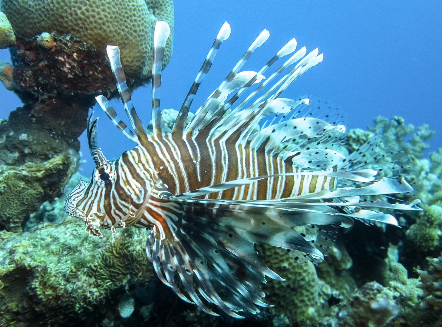 Крылатка индийская, Common lionfish (Pterois miles)