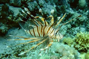 Крылатка зебра Common lionfish (Pterois miles), Красное море