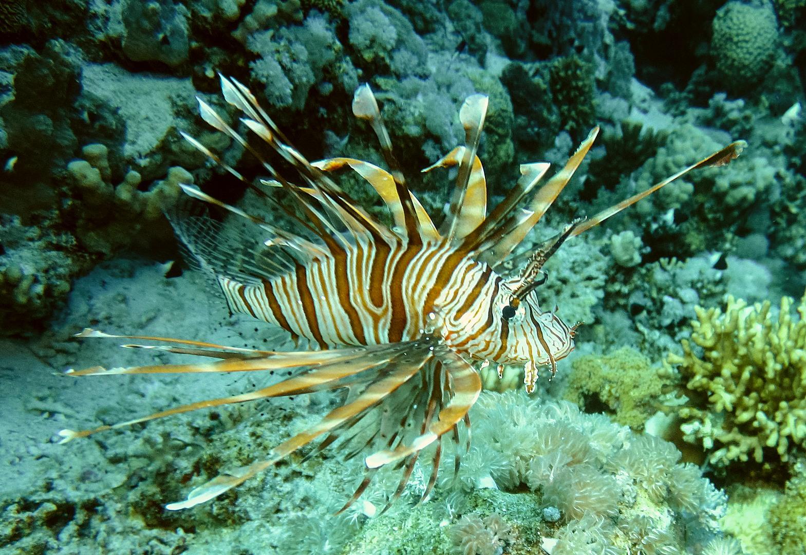 Крылатка зебра Common lionfish (Pterois miles), Красное море