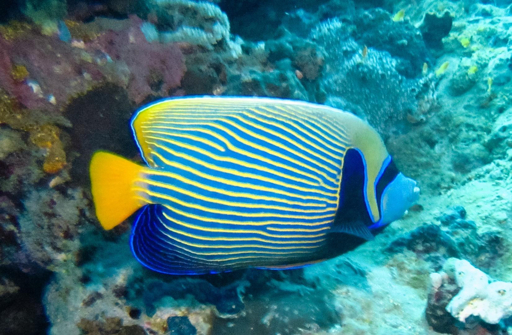 Императорский ангел, взрослая особь, Juvenile Emperor angelfish (Pomacanthus imperator), Красное море