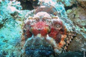 Flathead Scorpionfish, Red Sea