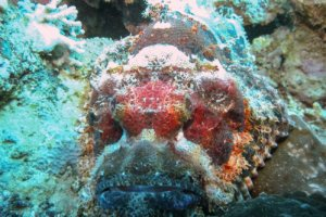 Скорпена плоскоголовая Flathead Scorpionfish (Scorpaenopsis oxycephala), Красное море
