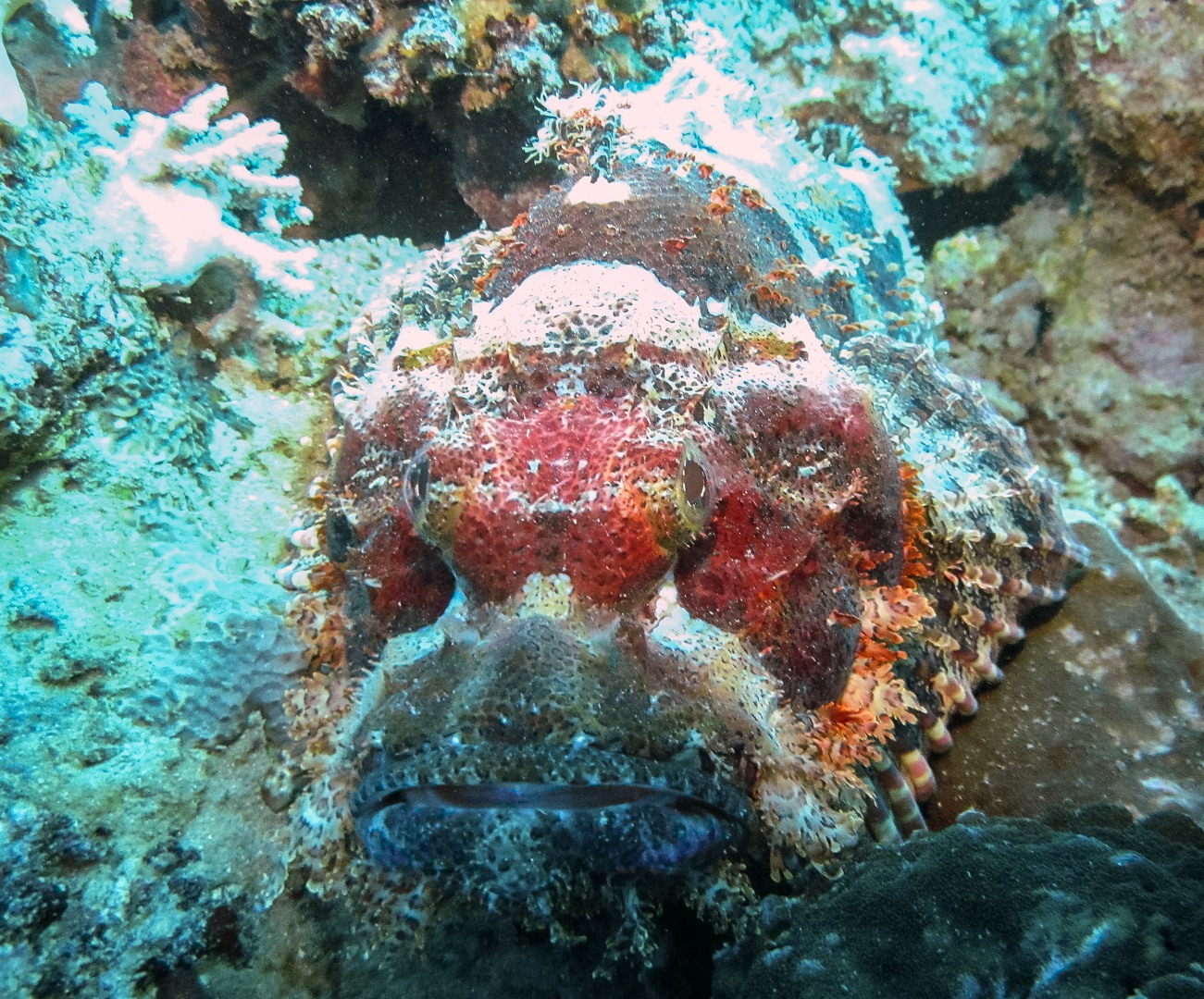 Flathead Scorpionfish, Red Sea
