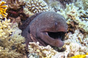 Гигантская мурена Giant Moray (Gymnothorax javanicus), Красное море
