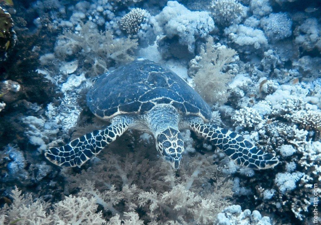 Green Turtle, Red Sea