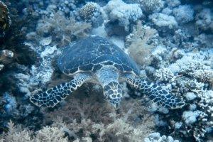 Зеленая черепаха Green Turtle (Chelonia mydas), Красное море