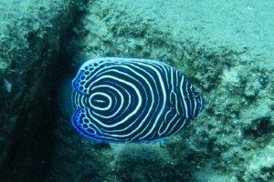 Императорский ангел, молодая особь, Juvenile Emperor angelfish (Pomacanthus imperator), Красное море