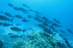 Sleek unicornfish, Red Sea