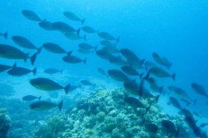 Безрогая Рыба-Носорог (Naso hexacanthus), Красное море