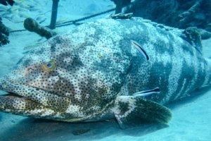 Potato grouper, Red Sea