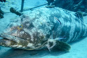 Картофельный групер potato grouper (Epinephelus tukula), Красное море