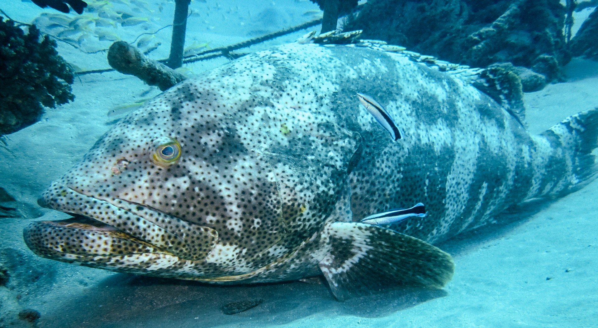 Potato grouper, Red Sea