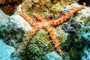 Egyptian Sea Star, Red Sea