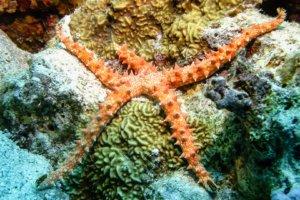 Египетская морская звезда Egyptian Sea Star (Gomophia egyptiaca), Красное море