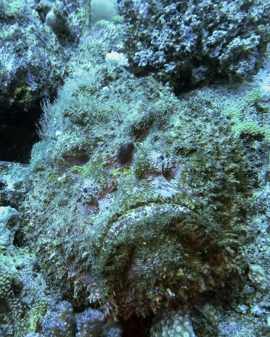 Камень-рыба Stonefish (Synanceia Verrucosa), Красное море