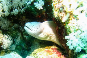 Белая мурена Peppered moray (Siderea grisea), Красное море