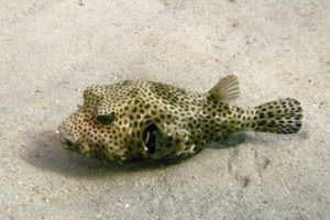 Whitespotted Puffer, Red Sea