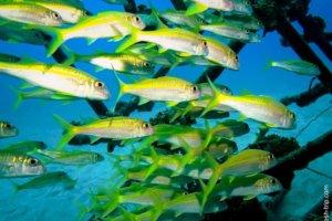 Yellow goatfish, Red Sea