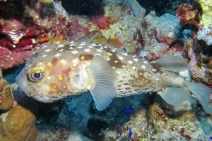 Ёж-рыба Yellowspotted Burrfish (Cyclichthys Spilostylus), Красное море