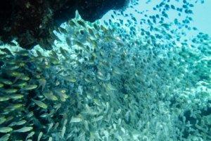 Стеклянные рыбки (Pempheridae Parapriacanthus), Красное море