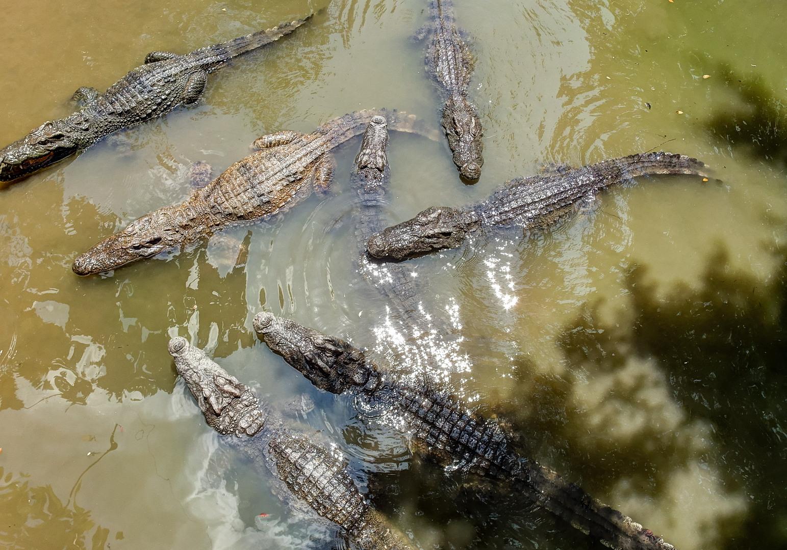 Крокодилы, дельта Меконга
