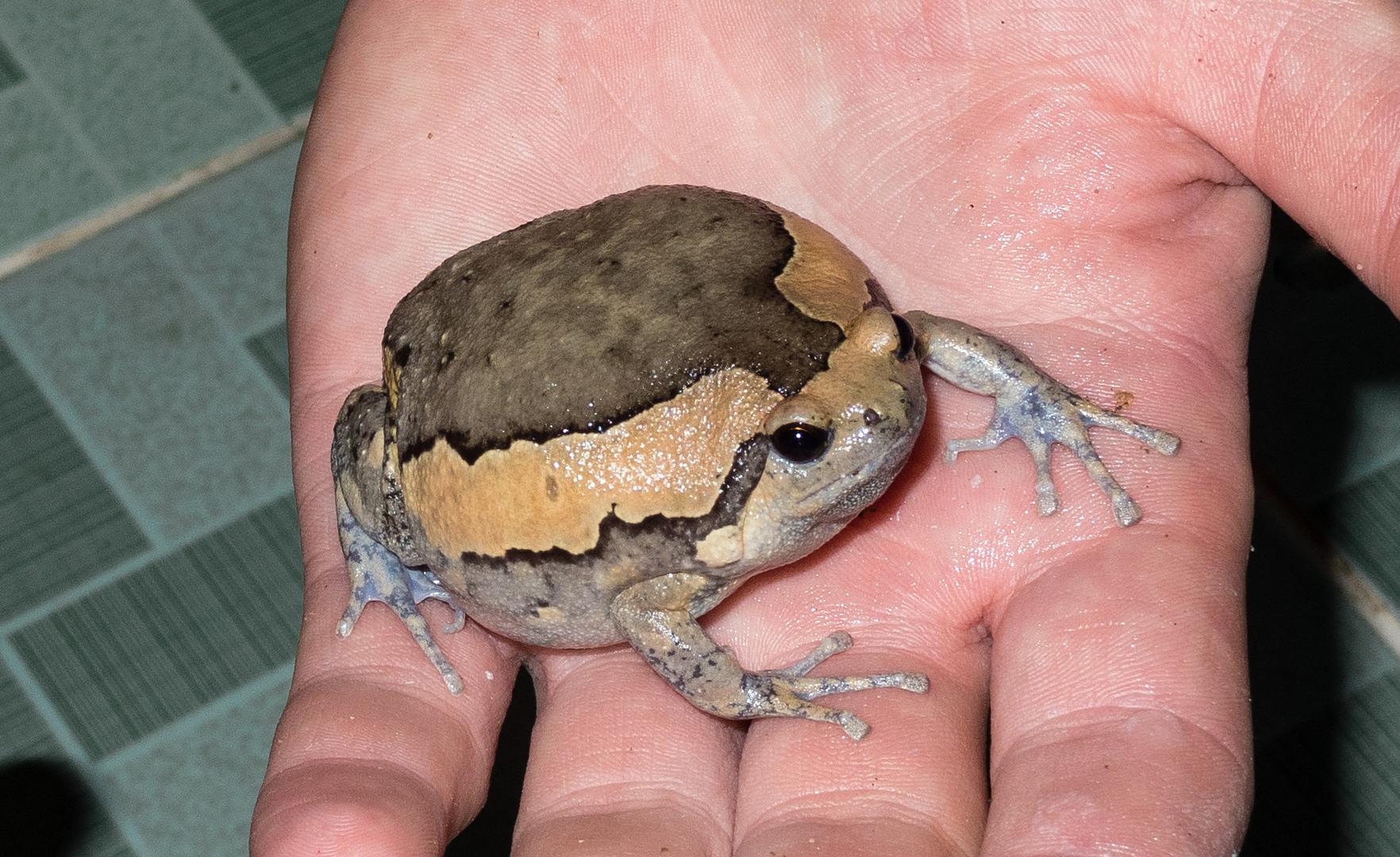 Лягушка Украшенная Бычья Kaloula pulchra (Painted Frog)