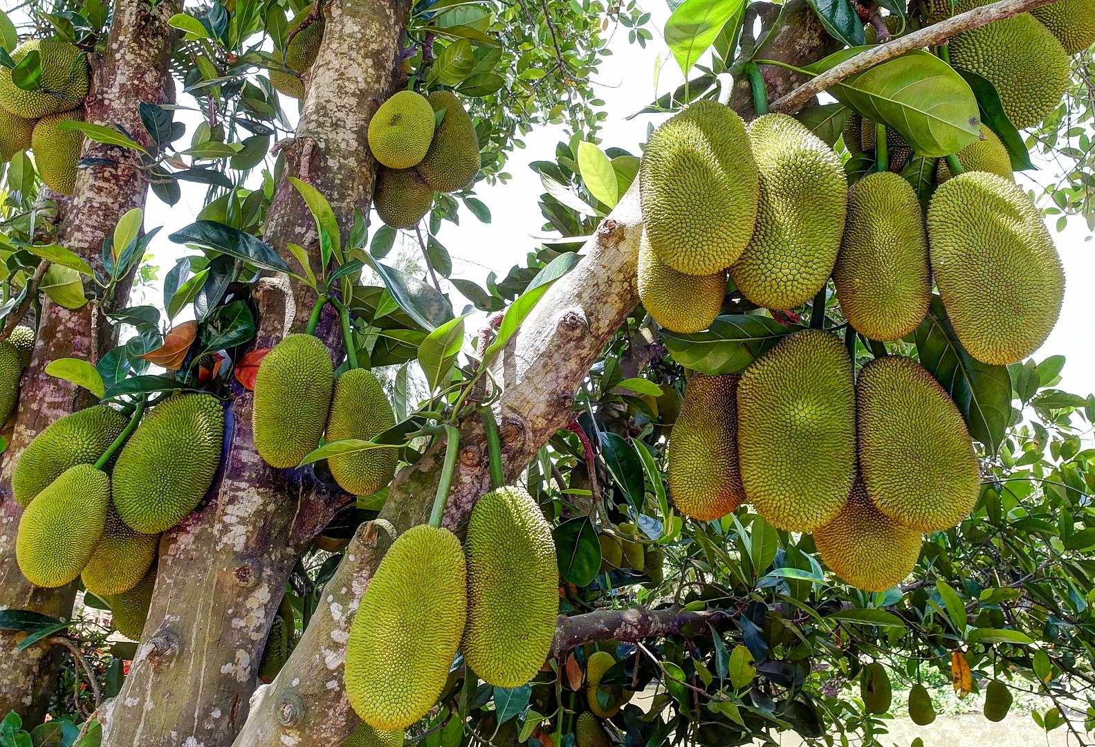 Джекфрут (Artocarpus heterophyllus), Вьетнам