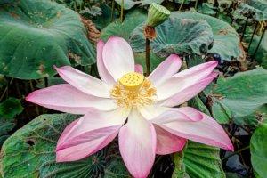 Лотос орехоносный, Indian lotus (Nelumbo nucifera), Меконг