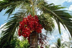 Пальма персиковая, Меконг