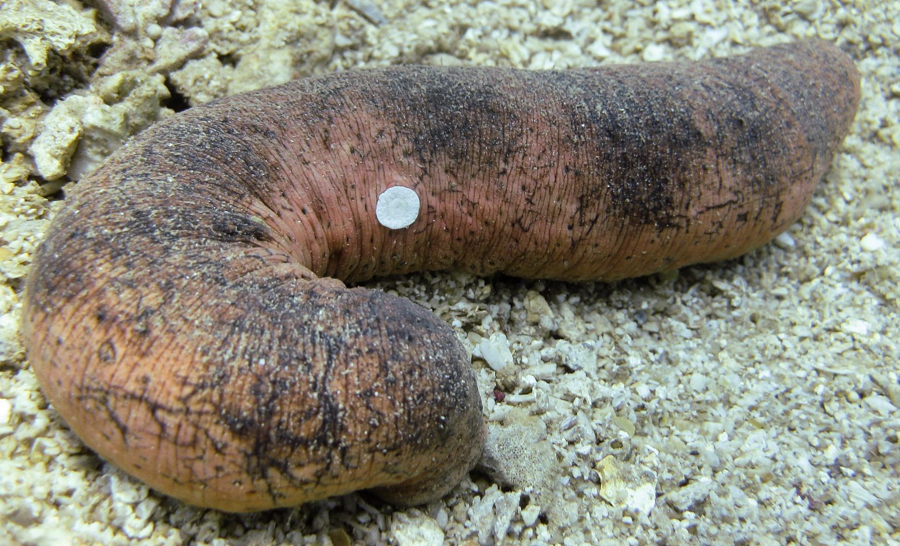 Голотурия Черный морской огурец, Black sea cucumber (Holothuria atra)