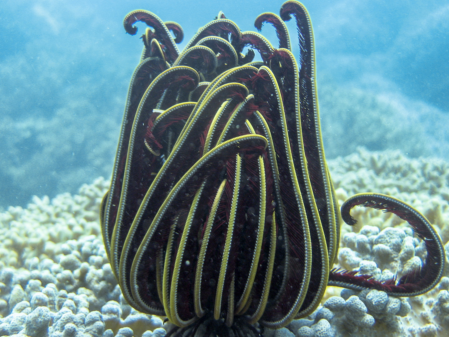 Морские лилии, Crinoid feather star (Crinoidea)