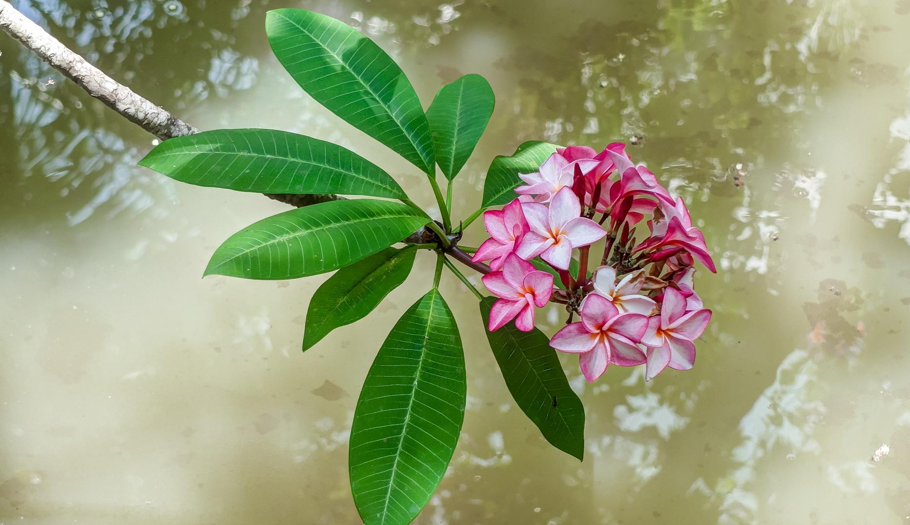 Розовая Плюмерия (Франжипани) Плюмерия — Pink Plumeria (Plumeria), Вьетнам