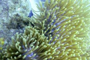 Актиния роскошная, Ritteri anemone (Heteractis-magnifica)