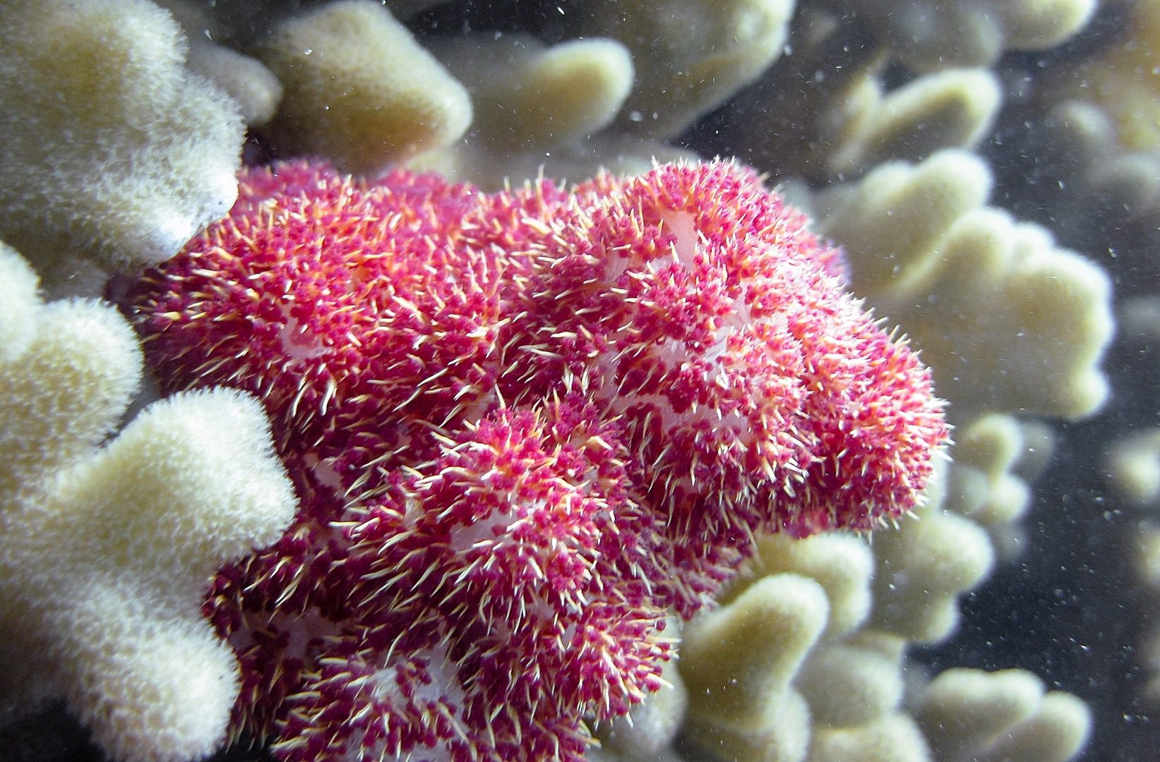 Мягкий коралл Лобофитум, Soft Coral Lobophytum