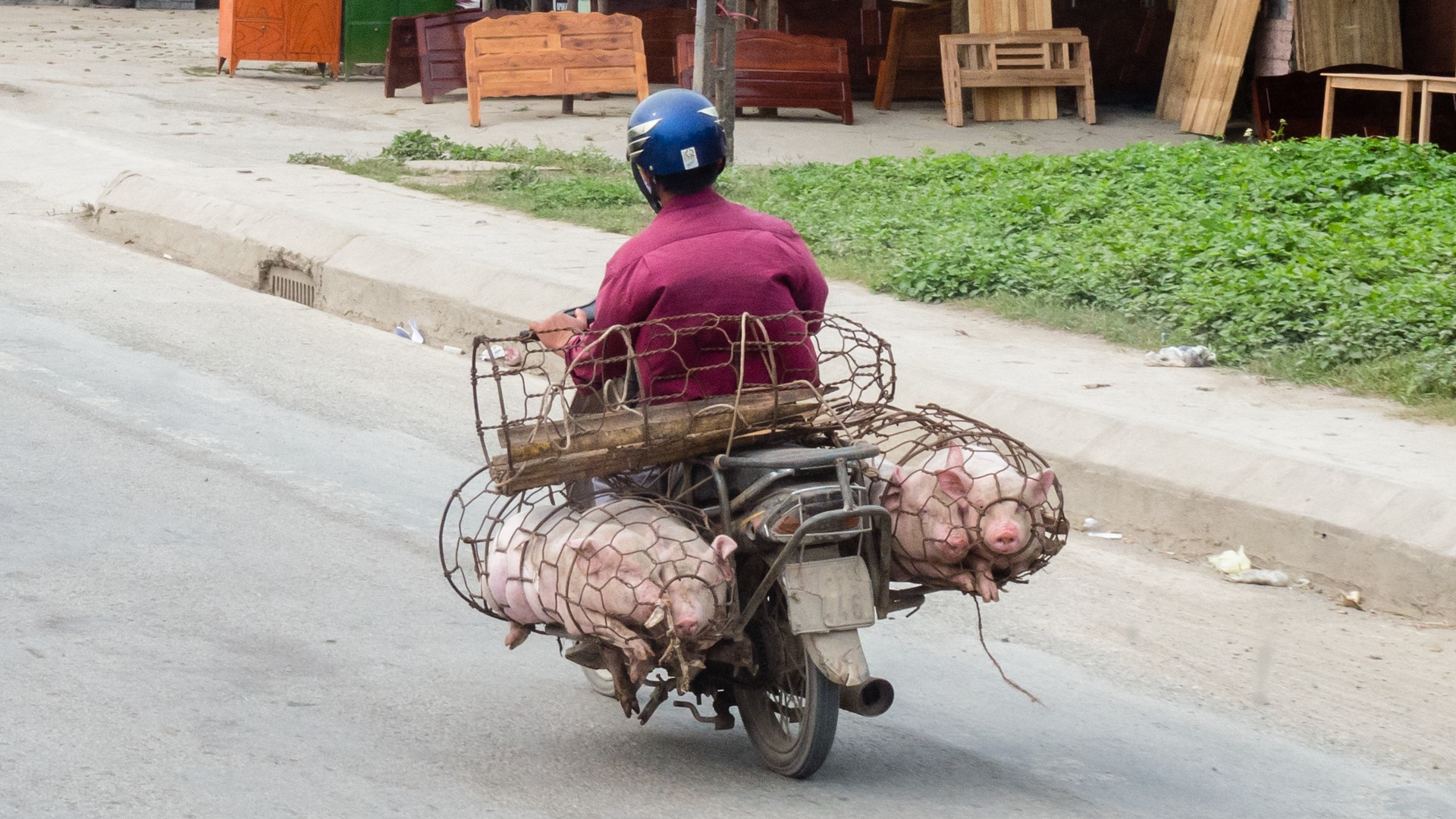Перевозчик свиней, Вьетнам