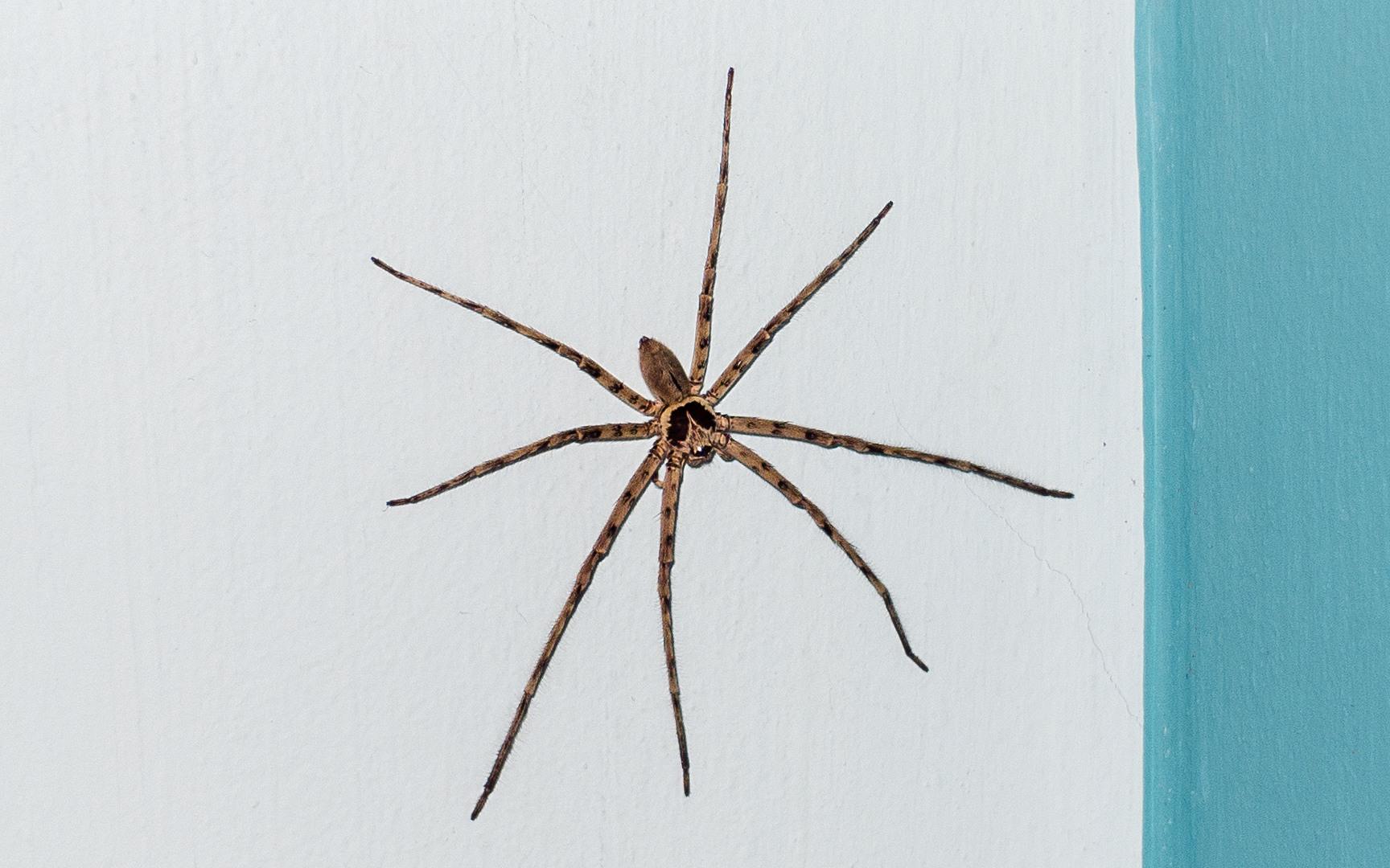 Паук-Охотник Hantsman Spider